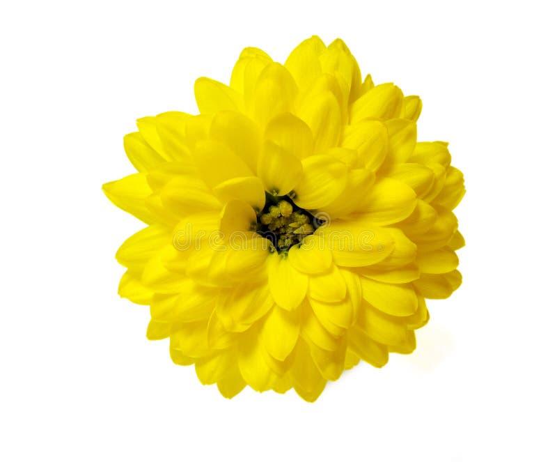 Yellow chrysanthemum flower isolated on white