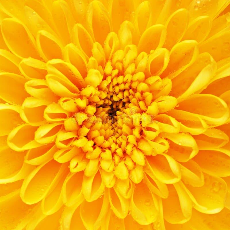 Yellow Chrysanthemum Flower Petals stock image