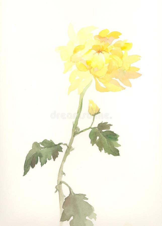 Yellow chrysanthemum flower watercolor drawing. A hand drawn watercolor of a yellow chrysanthemum
