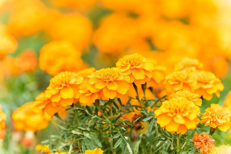 Yellow chrysanthemum flowers blooming in Autumn at the park in Shanghai, China royalty free stock photo