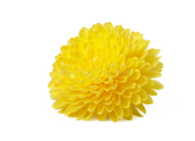 Yellow  chrysanthemum flowers isolated on white stock photography
