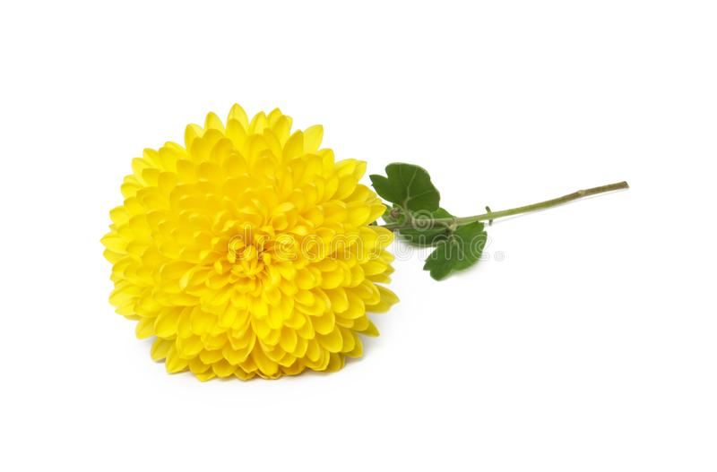 Yellow  chrysanthemum flowers isolated on white royalty free stock photography