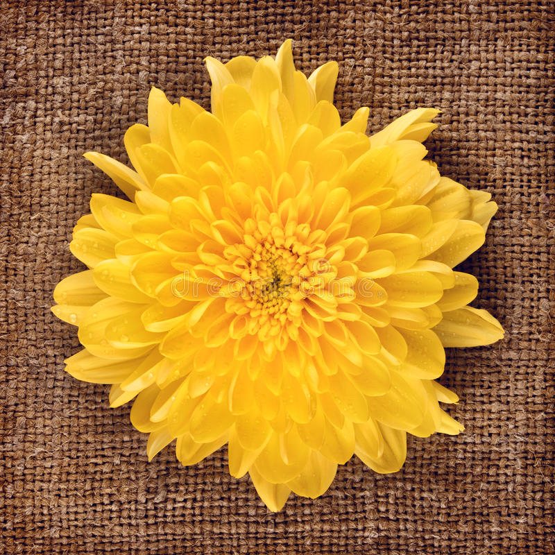 Yellow Chrysanthemum royalty free stock images