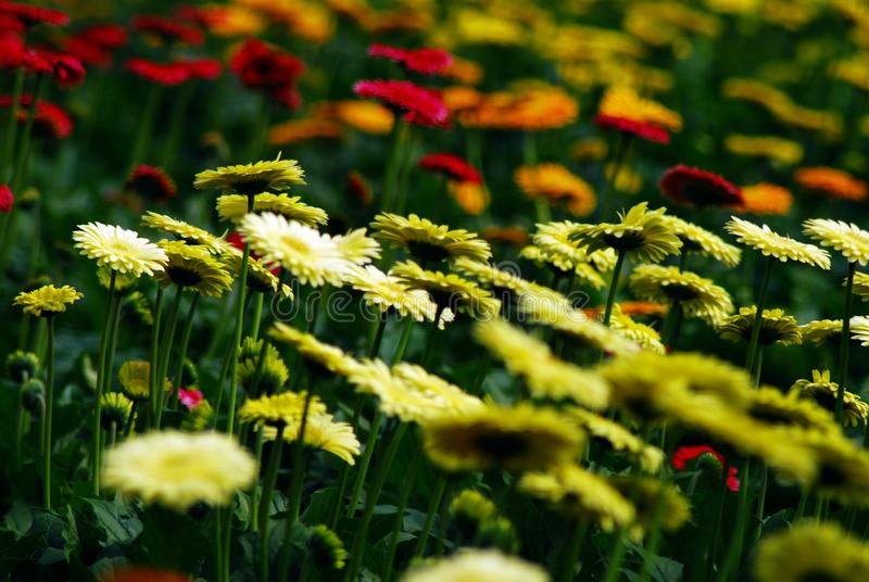yellow chrysanthemum in the garden   selective focos stock photos