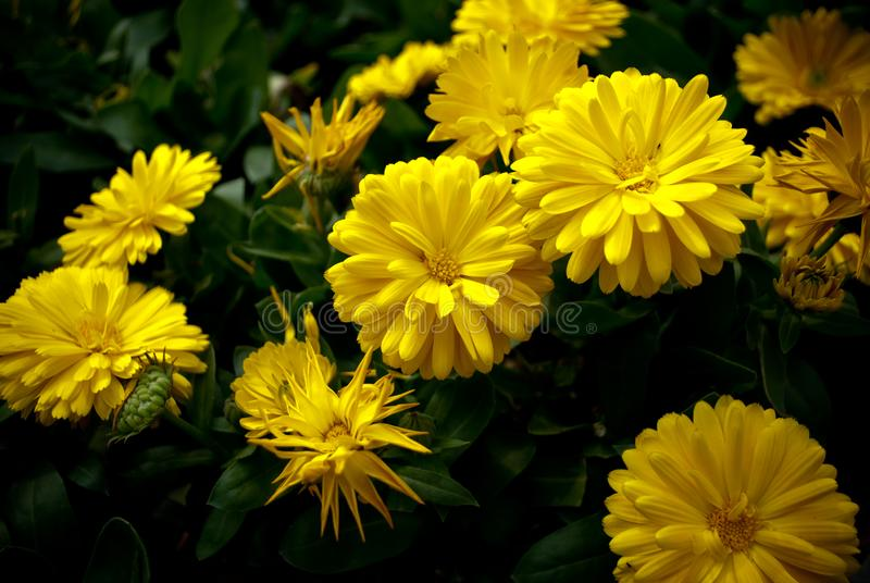 Yellow Chrysanthemum int the feild.  stock photography