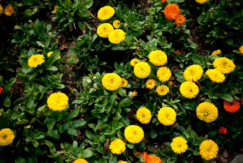Yellow Chrysanthemum int the feild.  stock photo