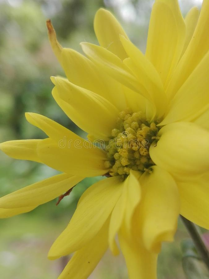 Yellow Chrysanthemum krisan royalty free stock photography