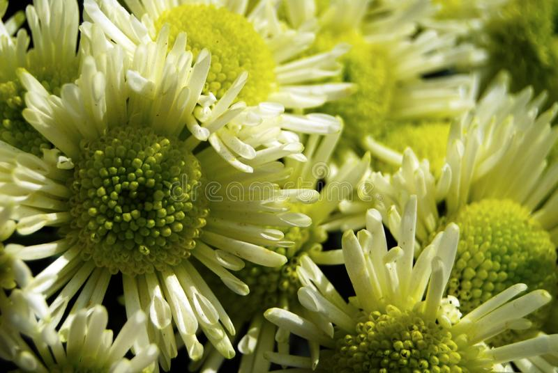 Yellow chrysanthemums close up in autumn Sunny day. Autumn flowers. Flower head stock images