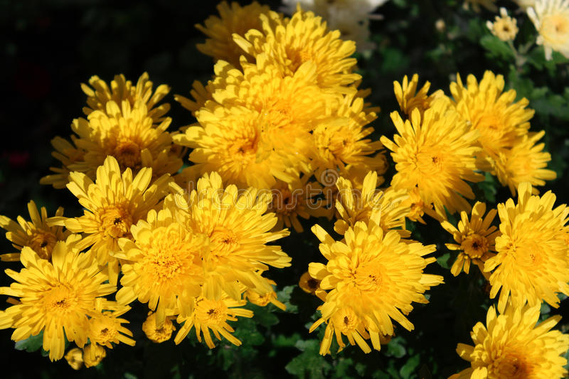 Yellow chrysanthemums in the flowerbed stock photography