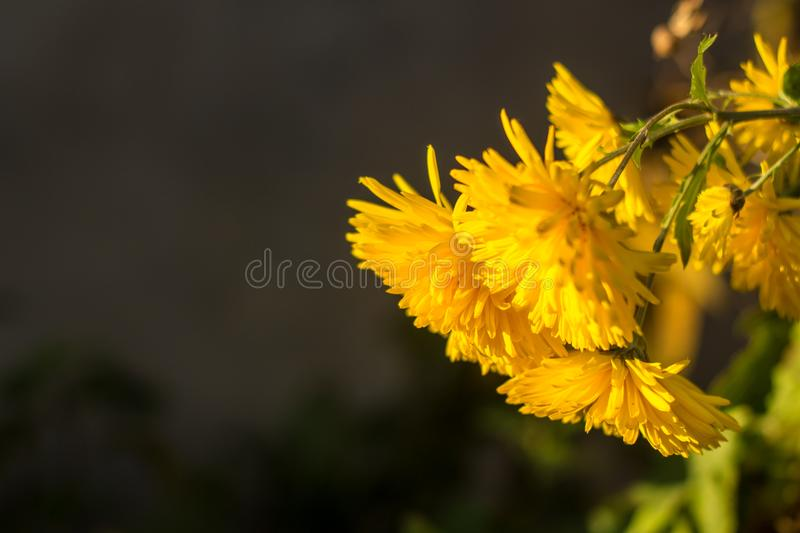 Yellow chrysanthemums flowers for your background. royalty free stock photos