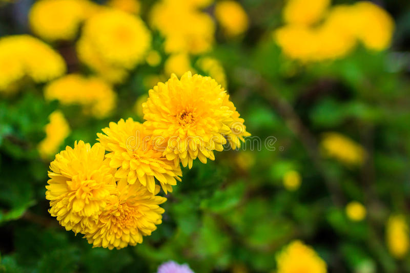 Yellow chrysanthemums in the garden stock photography