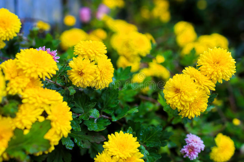 Yellow chrysanthemums in the garden royalty free stock image