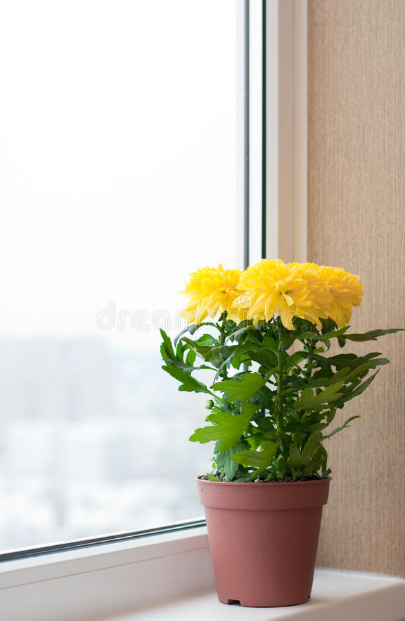 Free Yellow Chrysanthemums On Window Sill Stock Image - 27466281