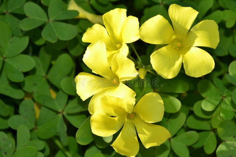 Yellow clover flowers. Close up of yellow clover flowers on green leaves stock photos