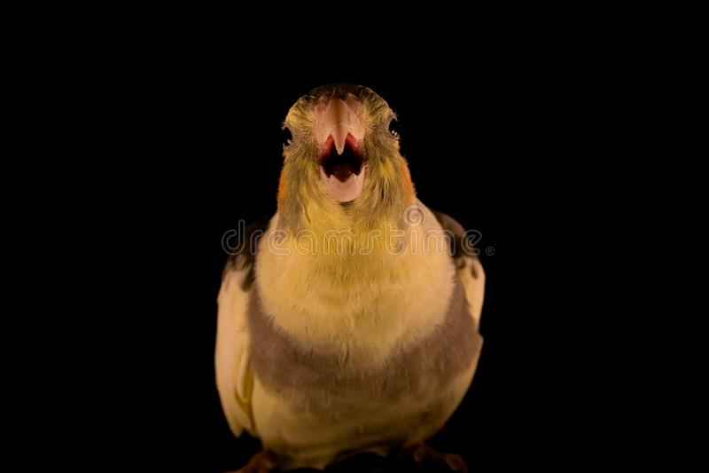 Yellow Cockatiel attack