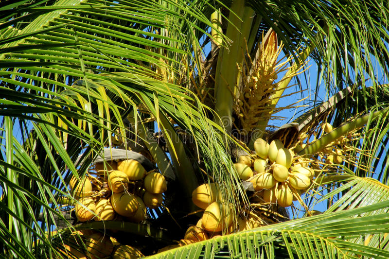 Yellow coco nuts on a palm. Yellow coco nuts growing on a palm. Palm trees tropical coconuts in tropic greenery, Brazil, tropical trees royalty free stock image