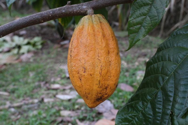 Yellow cocoa fruit growing on a tree stock photo