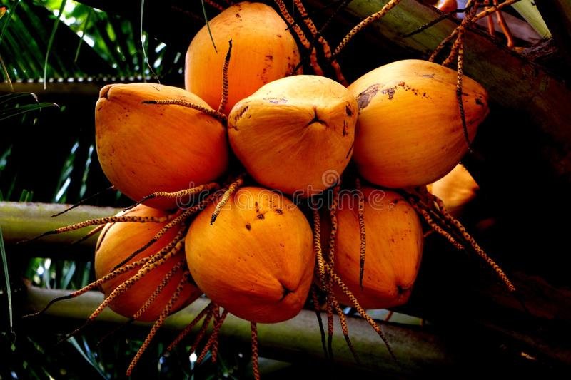 Yellow coconut. A bunch of fresh yellow coconut at the tree royalty free stock images