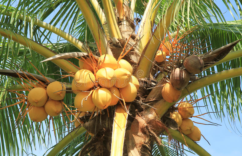 Yellow coconut cluster on tree. Yellow coconut cluster on coconut tree royalty free stock photos
