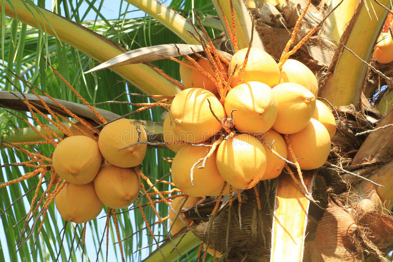 Yellow coconut cluster on tree. Yellow coconut cluster on coconut tree stock images
