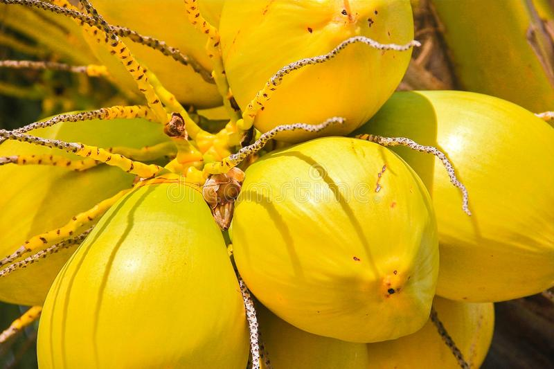 Yellow coconut coco tree palm sun close up. Yellow coconut on tree exotic stock image