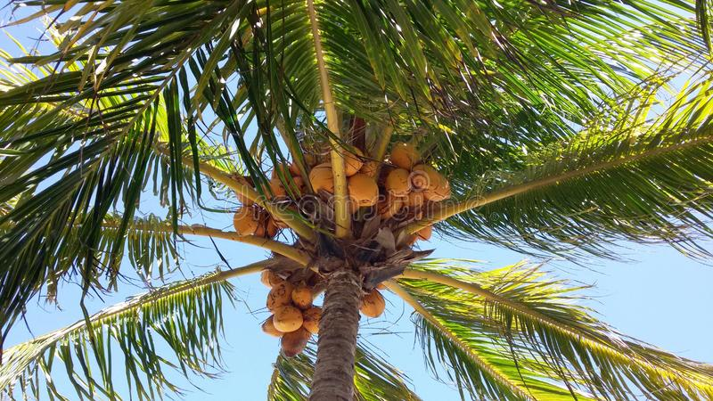 Yellow coconut on the coconut tree. With a blue and clear sky behind stock photos