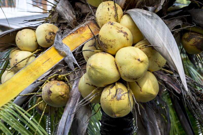 Yellow coconut fruit on coconut tree. Nature concept royalty free stock photo