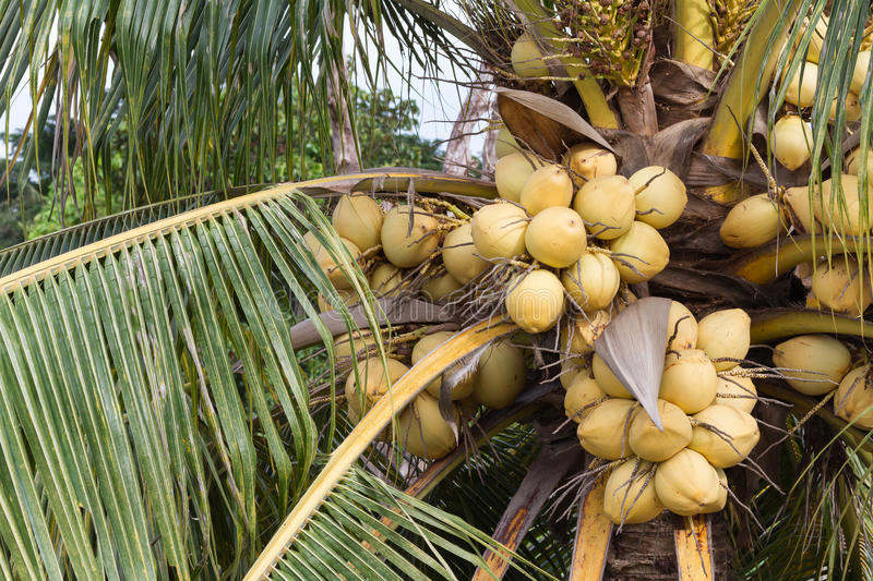 Yellow coconut fruits hanging on tree. Bunch of yellow coconut fruits hanging on tree stock photos