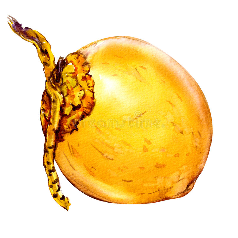Yellow coconut isolated, whole nut, watercolor illustration on white vector illustration