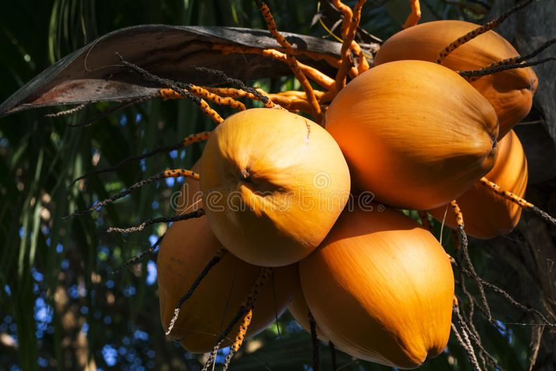 Yellow coconut on palm tree in sunlight. Golden Malayan Dwarf palm tree. Golden coconut closeup. Tropical botanical garden. Orange coco nut. Tropical island stock images