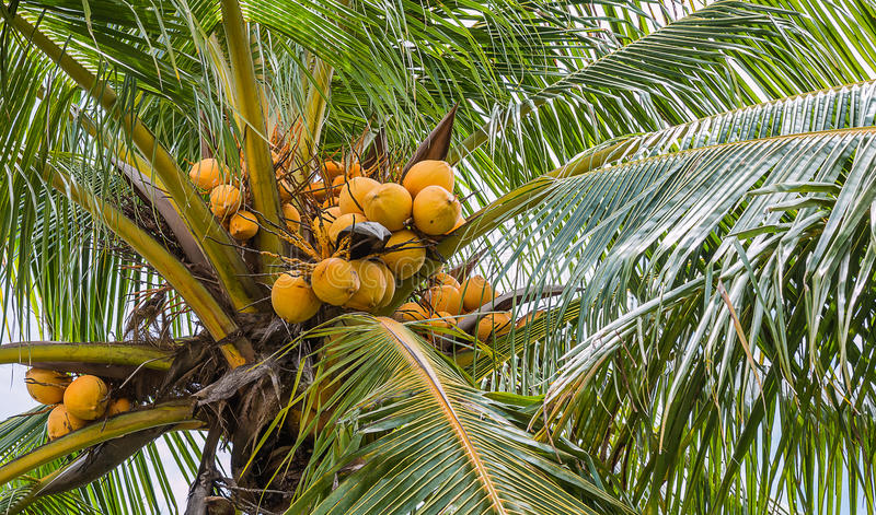 Yellow coconut. On tree royalty free stock images