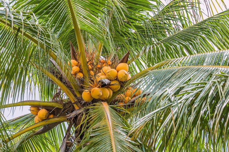 Yellow coconut. On tree stock photos