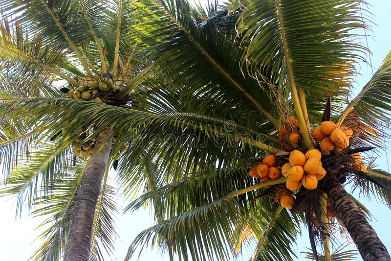 Yellow Coconut Tree. In `coconut tree` beach praia dos coqueiros, Trancoso city, Bahia, Brazil stock photos