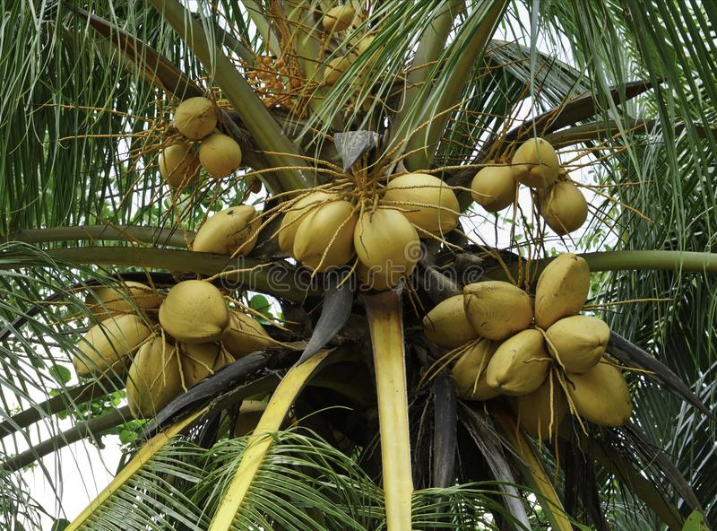 Yellow coconut tree. Coconut tree with a bunch of yellow fruits hanging stock image