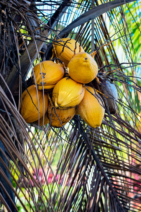 YELLOW COCONUT TREE CLOSE UP WITH BUNCH OF COCONUTS.  stock image