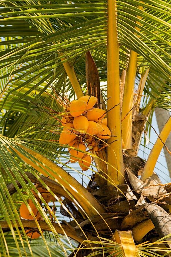 Yellow coconut tree. Yellow coco on coconut tree stock image