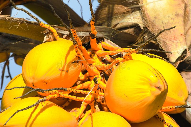 Yellow coconut coco tree palm sun close up. Yellow coconut on tree exotic royalty free stock photos