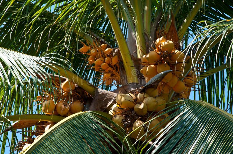 Yellow coconut. On tree with green leaf stock photography