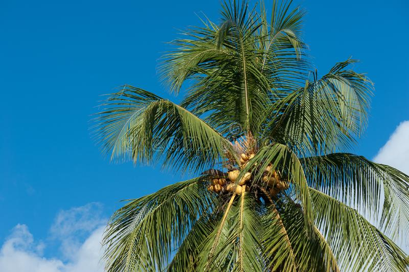 Yellow coconut trees. Yellow coconut at tree under blue sky stock image