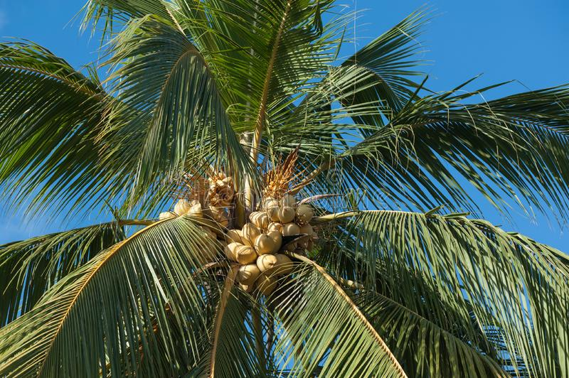 Yellow coconut trees. Yellow coconut at tree under blue sky royalty free stock photography
