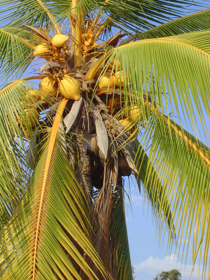 Yellow Coconuts