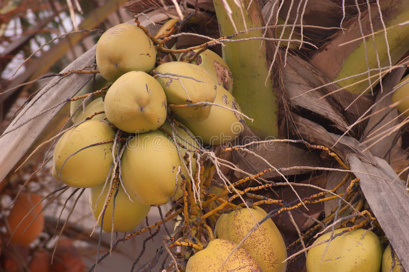 Download Yellow Coconuts On Palm Tree Royalty Free Stock Photos - Image: 32031818