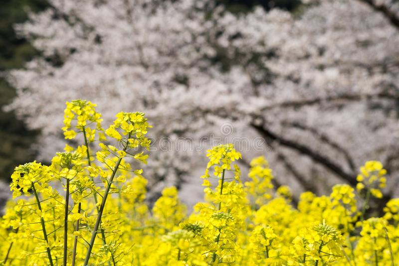 Flower field and blurred flowers royalty free stock image