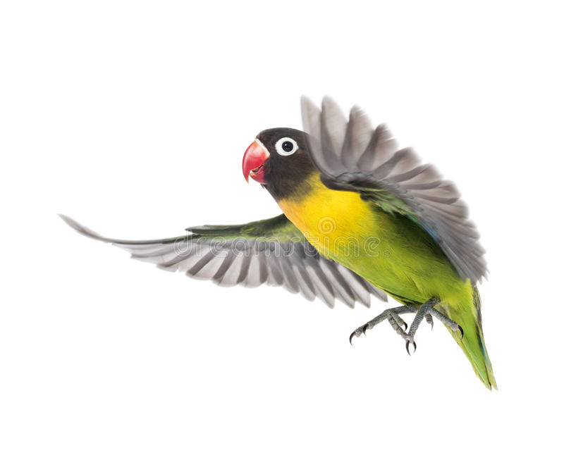 Yellow-collared lovebird flying, isolated stock image
