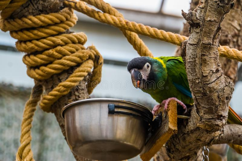 Yellow collared macaw parrot eating from a bowl, pet care in aviculture, popular colorful bird from brazil. A yellow collared macaw parrot eating from a bowl royalty free stock images