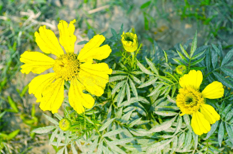 Yellow color flower royalty free stock photo
