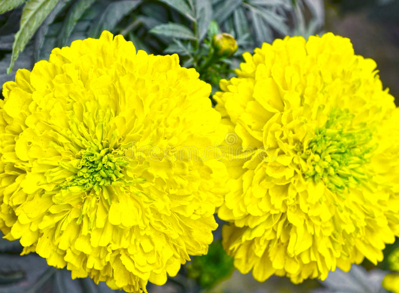 Yellow color flower royalty free stock photography