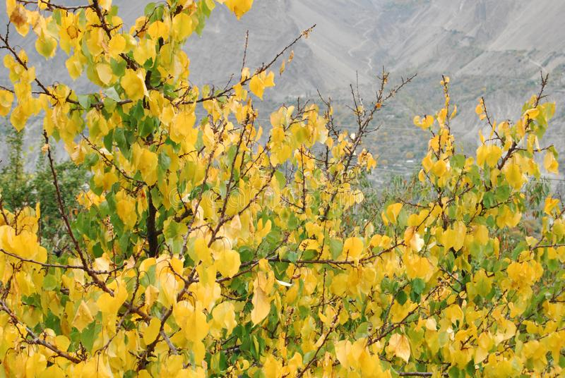 Yellow Color Leaves | Yellow and Green Leaves stock image