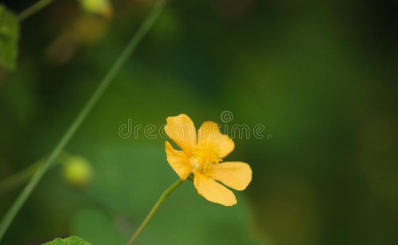 Yellow color small flower image. This image quality is high royalty free stock images