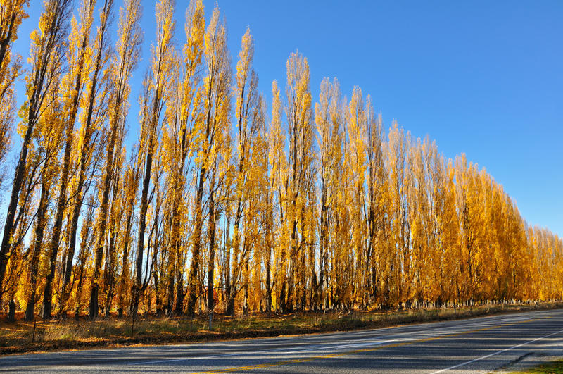 Download Yellow Colored Autumn Aspen Line Stock Image - Image: 26236411